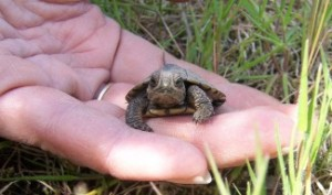 Western pond turtle hatchling in the hand - so tiny!