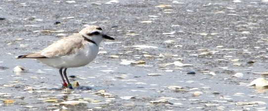 This adult western snowy plover is sporting color bands. Each adult bird band combination is unique, like giving them names.