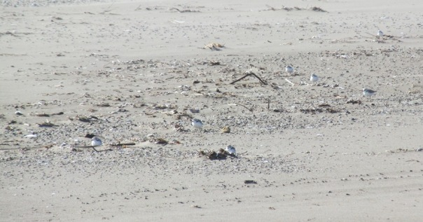 How many plovers do you see?
