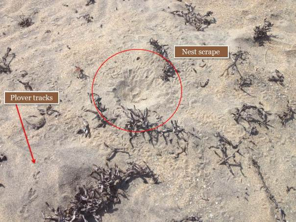 Western snowy plover nests are very camouflaged! Here is an empty nest waiting for eggs, and plover tracks all around it.