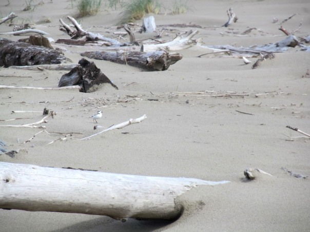 Unbanded plover watching over its nest at Nehalem Bay State Park