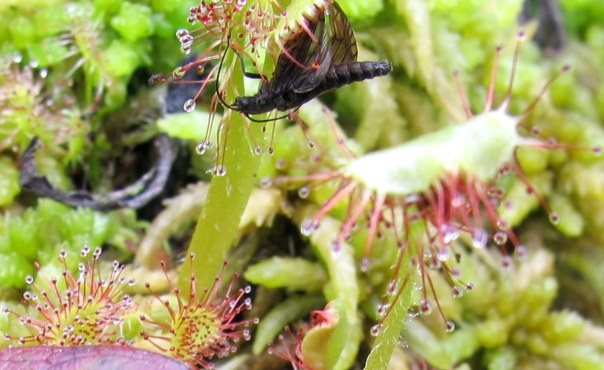 Sundew with larger bug