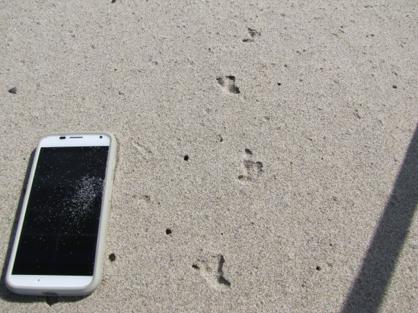 Western snowy plover tracks in the sand. MotoX phone for scale.